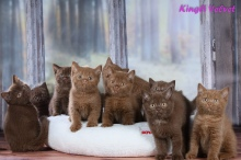 Котята друзей из питомника Kingly Velvet